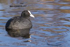 A coot swimming in icy water : Southampton Common royalty free stock images