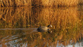 Coot swimming in Kristalbad Enschede at sunset Royalty Free Stock Image