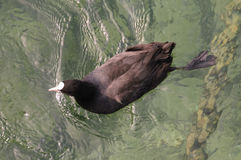 Coot swimming in Lake Geneva stock photography