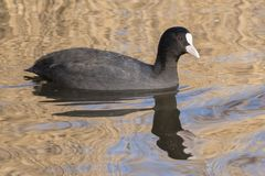 A coot swimming on the Ornamental Pond, Southampton Common royalty free stock photos