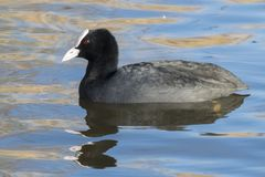 A coot swimming on the Ornamental Pond, Southampton Common Royalty Free Stock Images