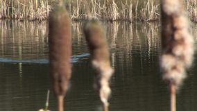 Coot swimming past reeds. England stock footage