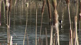 Coot diving into water near reeds. Coot swimming past reeds England stock footage