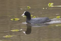 A coot swimming past water lilies stock images
