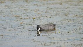 Coot swimming in pond. Eurasian coot. -Fulica Atra- The bird dive under the water to get food stock video