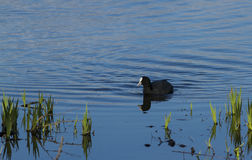 Coot Stock Image