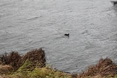 Coot in stormy water stock photos