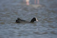 Coot swims in more Stock Image