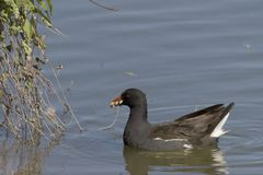 Coot swims in the water. In nature area Meinerswijk, Netherlands Stock Photography