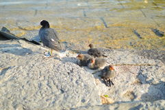 Coot and their chicks on a rock. Looks like duck with peak white and black plumage. One adult coot and their offspring Royalty Free Stock Photography