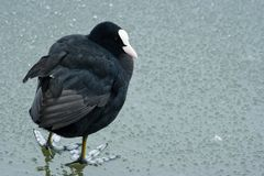 Coot unhappy and cold in winter Royalty Free Stock Photo