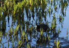 Coot Royalty Free Stock Photos