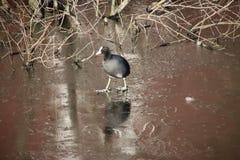 Coot walking on the frozen ice on water in Park hitland nieuwerkerk aan den IJssel, the Netherland. royalty free stock image