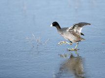 Coot walking on frozen pond Royalty Free Stock Photography