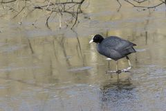 A coot walking on the ice on the Ornamental Pond, Southampton Common Stock Photos