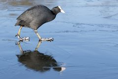 A coot walking on the ice on the cemetery lake Southampton Common royalty free stock photo