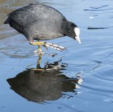 A coot walking on the ice on the cemetery lake Southampton Common stock image