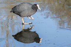 A coot walking on the ice on the cemetery lake Southampton Common stock photography