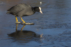 Coot walking on ice Royalty Free Stock Image