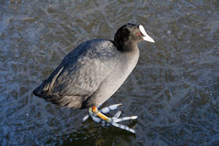 Coot walking on ice Royalty Free Stock Photos