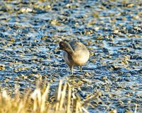 A Coot walking in the mud stock images