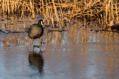 A coot is walking on thin ice Stock Photo
