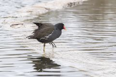 A moorhen walking through water stock photos