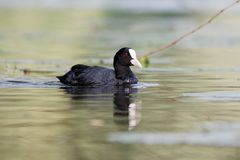 Coot in the water. A coot on the river ruhr Royalty Free Stock Photos