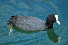 Coot on water Royalty Free Stock Images