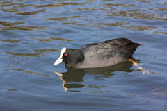 Coot water bird Stock Images