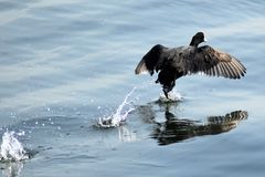 Coot in water Stock Photo