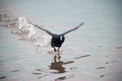 Coot water bird landing on water Royalty Free Stock Photos