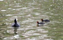 Coot on the water with its youngs Royalty Free Stock Photography