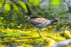 Coot on the water ready to fish Royalty Free Stock Image