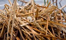 Coot Waterhen Nest and Eggs. Saskatchewan Canada Stock Photo