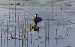 Coot or Waterhen Sitting on eggs Royalty Free Stock Image