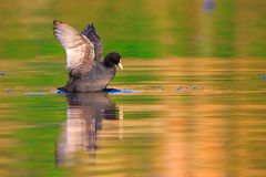 Coot Royalty Free Stock Photo