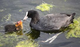 Coot With Chick Royalty Free Stock Image