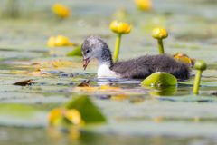 Coot & x28;Fulica atra& x29; chick swimming among water lilies Stock Image