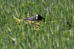 Coot & x28;Fulica atra& x29; sitting on nest amongst aquatic vegetation Royalty Free Stock Images