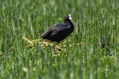 Coot & x28;Fulica atra& x29; standing on nest amongst aquatic vegetation Stock Image