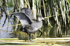 Coot,  young bird in natural habitat / Fulica atra Stock Image
