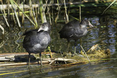 Coot,  young birds in natural habitat / Fulica atra Stock Images