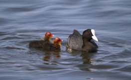 Coot with young Stock Photos
