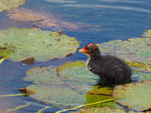 Coot youngster standing on large water lily leaves - Fulica atra. Coot youngster on large water lily leaves Royalty Free Stock Photography