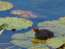 Coot youngster on water lily - Fulica atra. Coot youngster swimming obove water lily leaves Royalty Free Stock Image