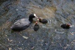 Coot z jej dziećmi zdjęcia royalty free