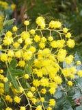 Cootamundra wattle. Yellow wattle flower Stock Photography