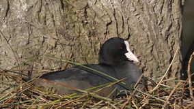 Coote on nest. stock footage