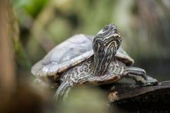 Cooter河-一个淡水乌龟当地人向佛罗里达 图库摄影